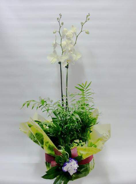 Composición de Orquídeas Phalenopsis - Foto principal