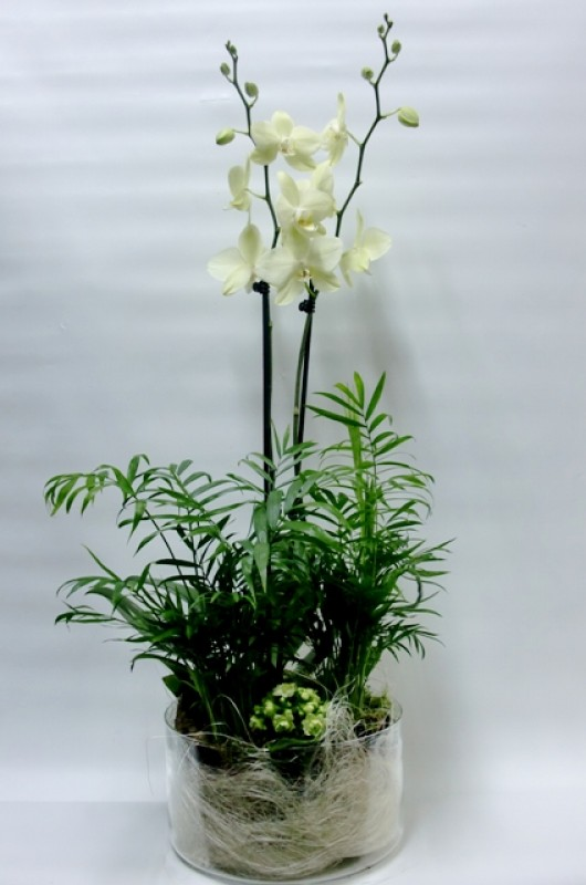 Composición de Orquídeas Phalenopsis - Foto 3