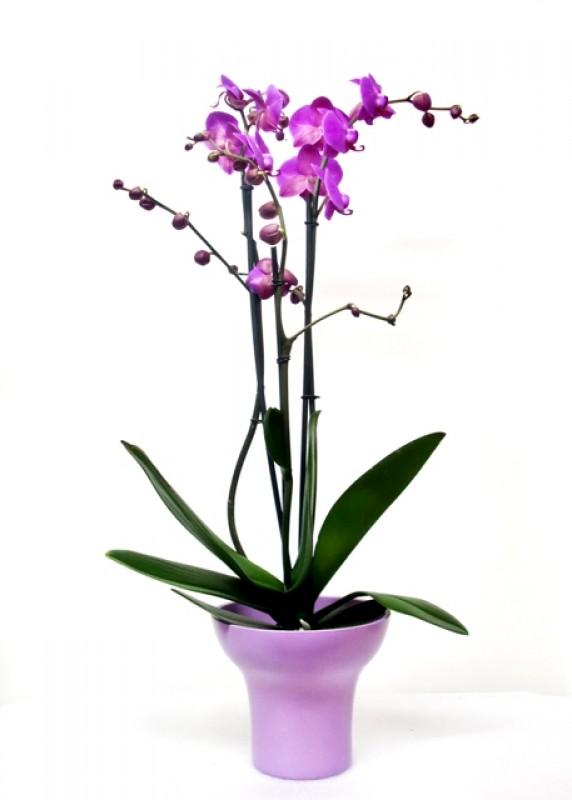 Orquidea Phalenopsis preparada. - Foto 2
