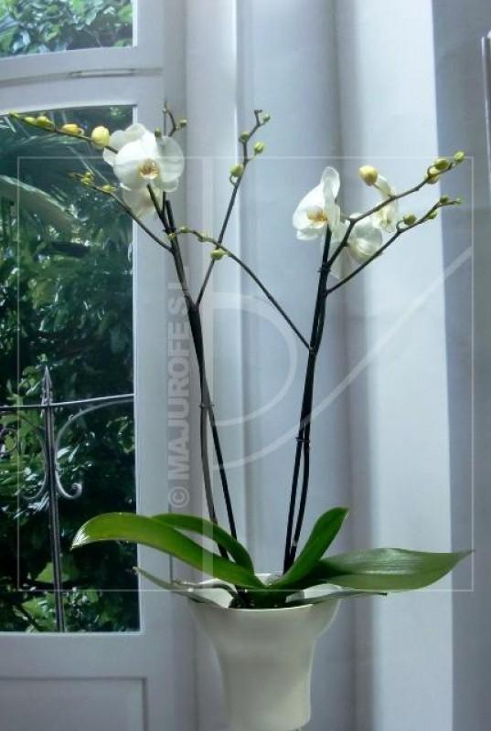 Orquídea Phalenopsis con Cerámica - Foto 3