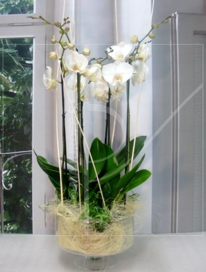 Grupo de Orquideas Phalenopsis - Foto principal