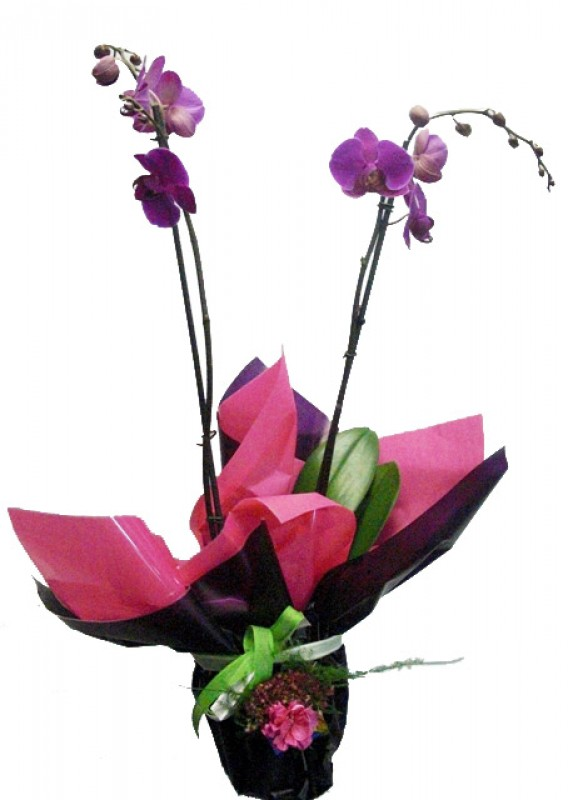 Orquidea Phalenopsis preparada. - Foto principal