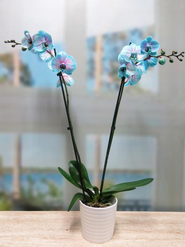 Orquídea Azul - Foto 4