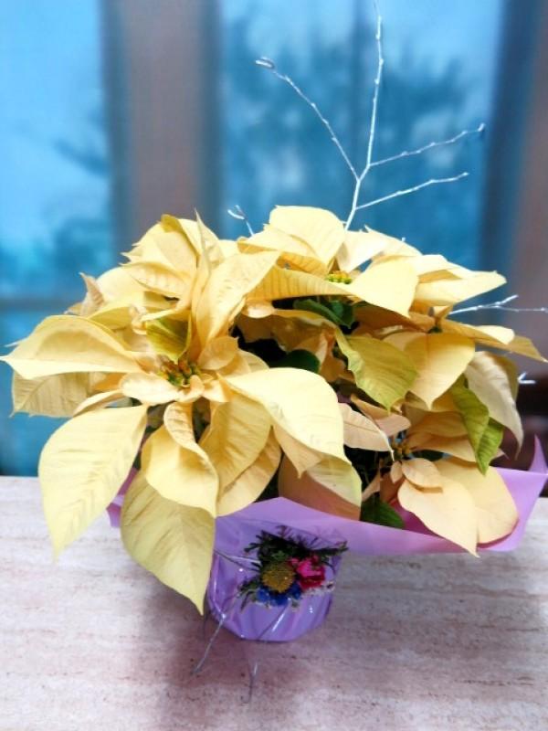 Flor de Pascua - Poinsetia - Foto 4