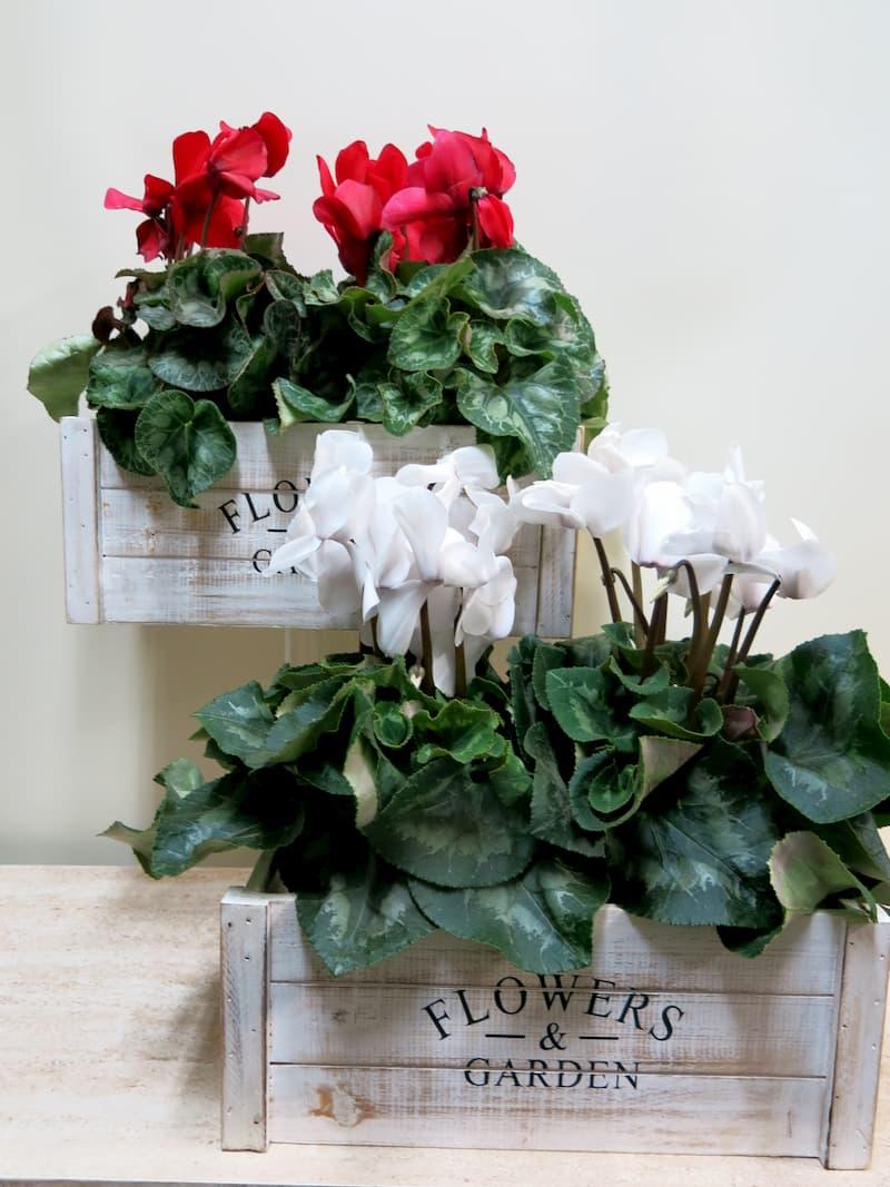 2 Plantas de Ciclamen - Foto 3