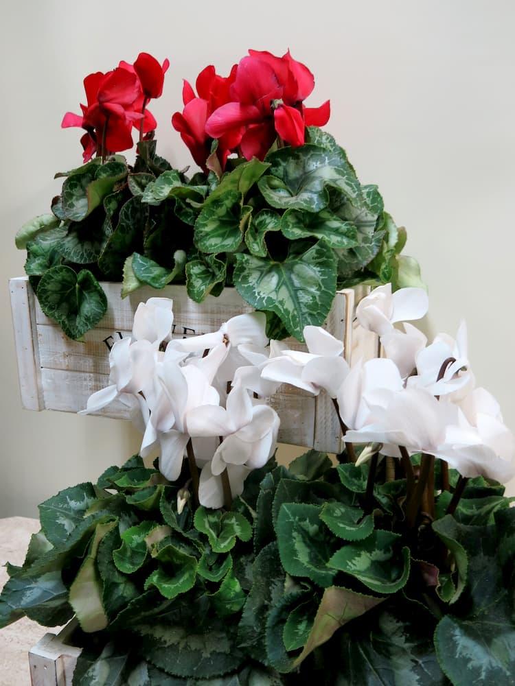 2 Plantas de Ciclamen - Foto principal