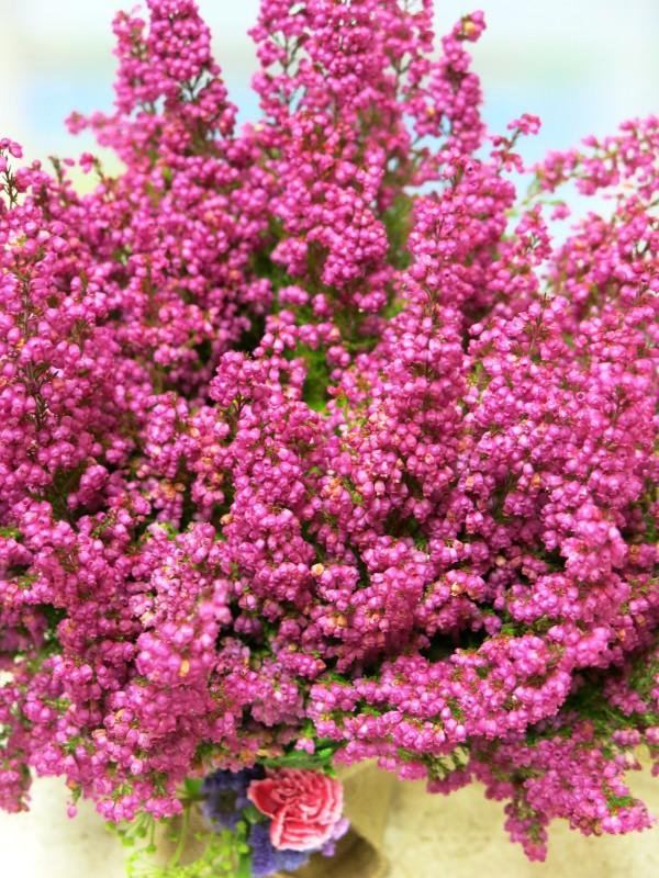 Planta de Brezo - Foto 2