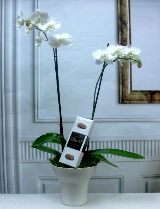 Orquídea Phalenopsis con trufas. Te Ahorro de 2? de color blanca
