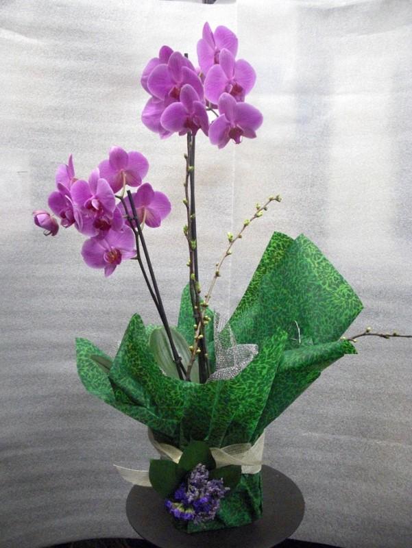Orquidea Phalenopsis preparada. de color malva