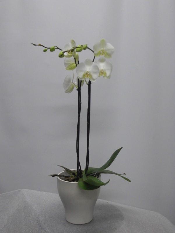 Orquidea Phalenopsis preparada. de color blanca