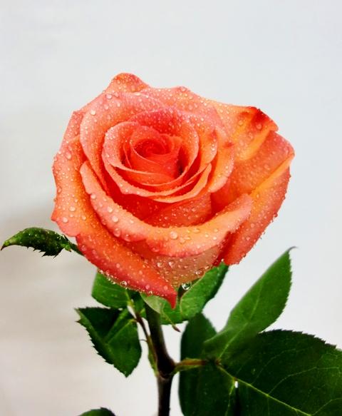 20 Rosas en recipiente de cristal de color naranjas
