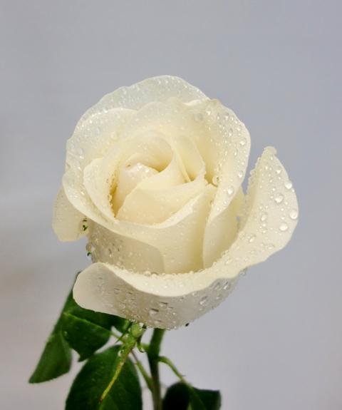 24 Rosas Rojas Tallo largo de color blancas