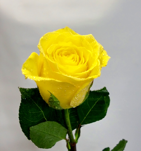 3 roses plus teddy bear de color amarillo