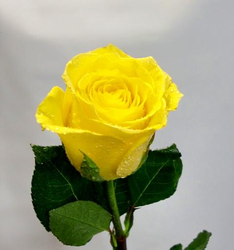 Ramo de 24 rosas de tallo corto 50 cm. de color amarillas