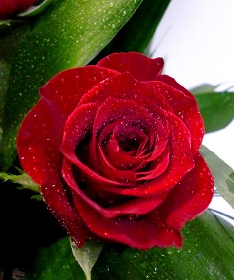 20 Rosas en recipiente de cristal de color rojas