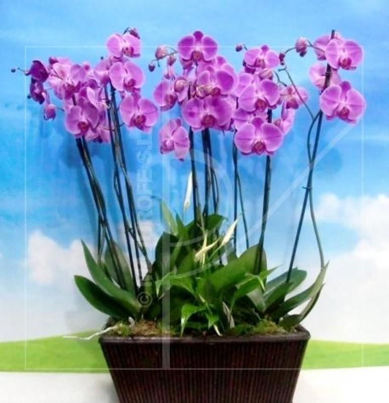Cesta de Orquídeas Phalenopsis - Foto principal