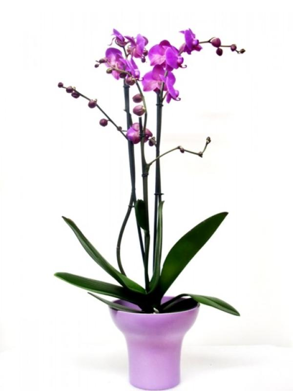 Orchid Phalenopsis with ceramic de color malva