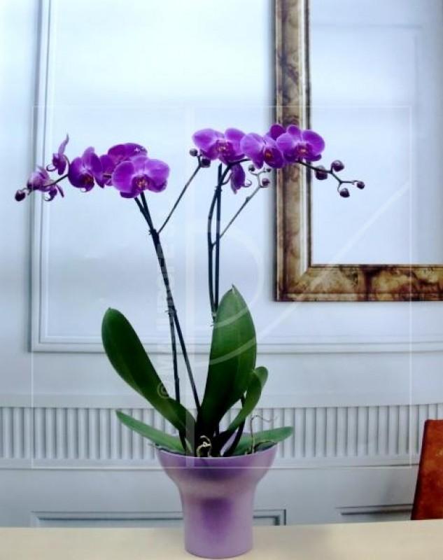 Planta de Orquidea con 2 tallos 65-75 cm. de color malva