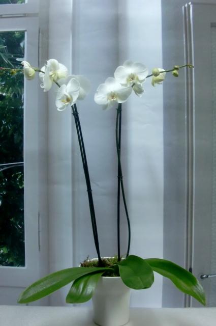 Planta de Orquidea con 2 tallos 65-75 cm. de color blanca
