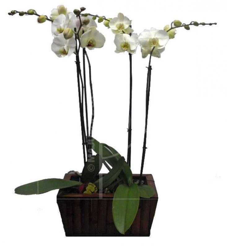 2 Phalenopsis in basket de color blanco