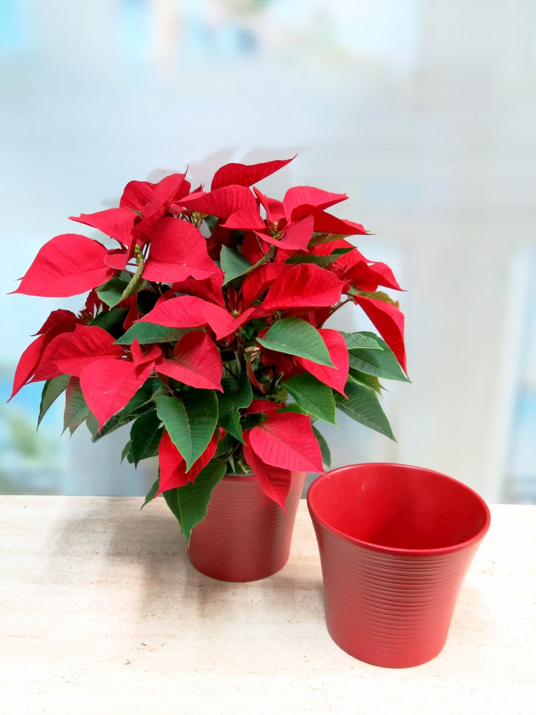 So your gift of the Poinsettia will be complete Red Pot - Foto principal