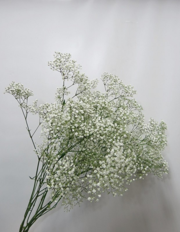 Paniculata Milium 3 Tallos - Foto principal