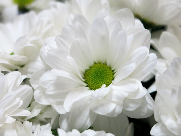 Bouquet of 15 stems of White Daisies - Foto 4