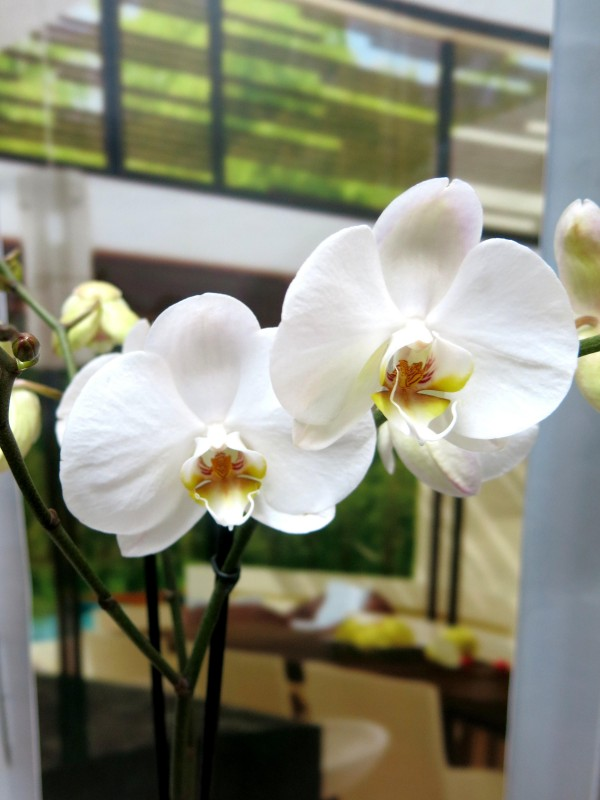 Orchid Phalenopsis with ceramic de color blanco