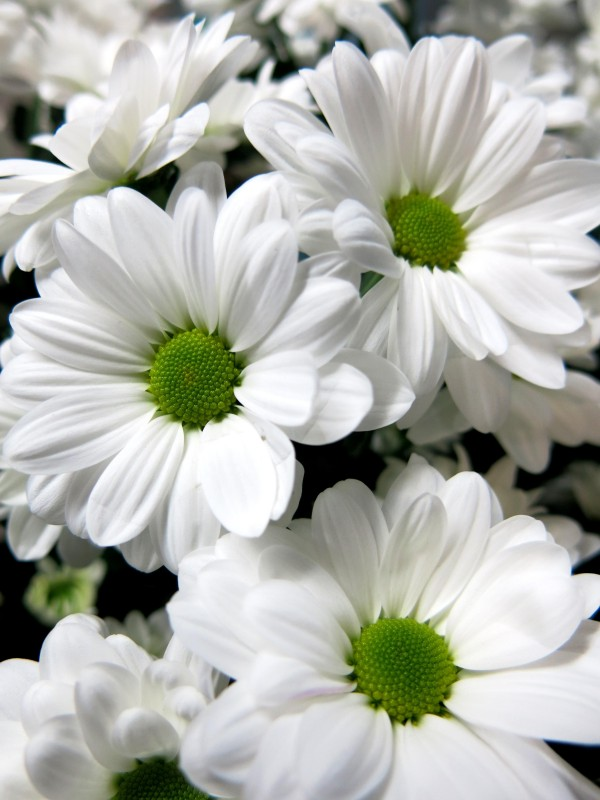 GIFTS White daisies 10 stems - Foto 2