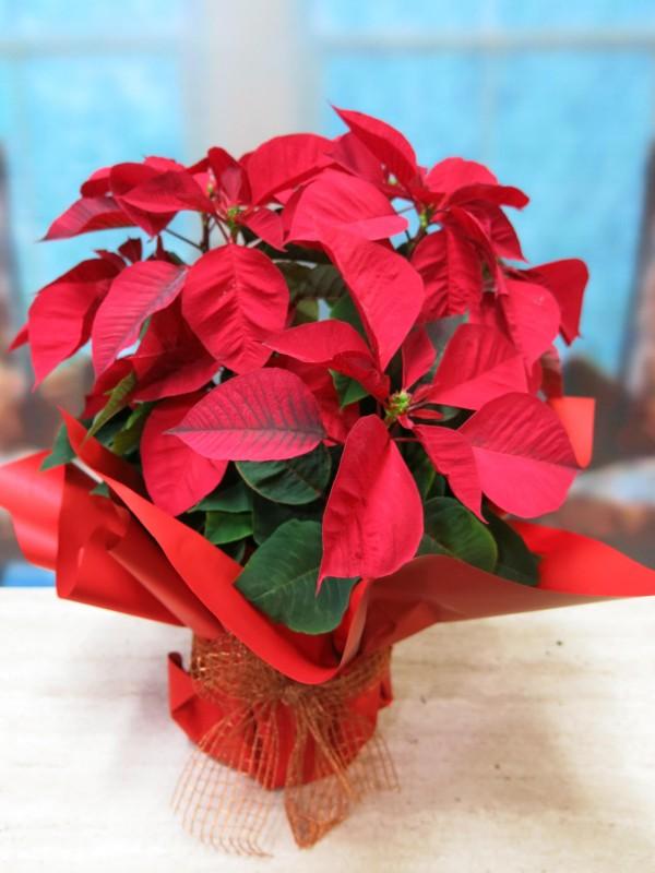Flor de Pascua - Poinsetia de color rojas