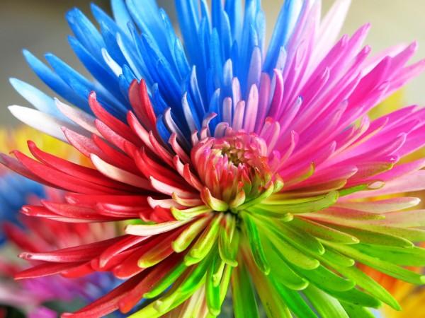 Anastasia Multicolor 6 tallos - Foto 2