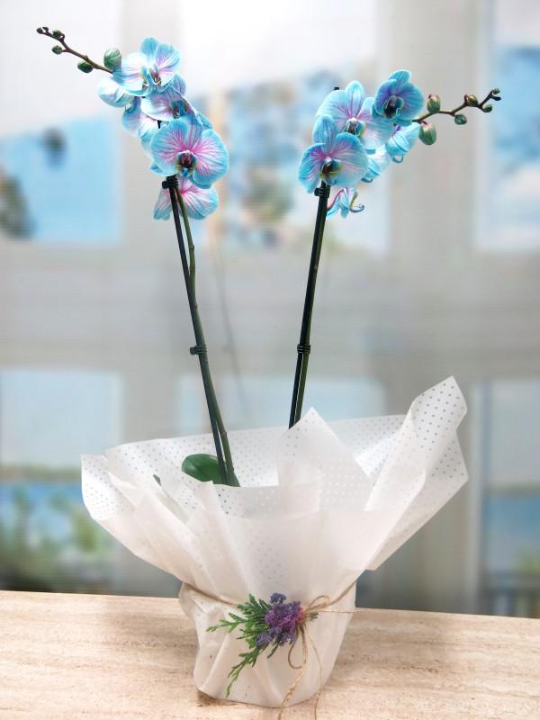 Blue Phalenopsis Orquidea - Foto principal
