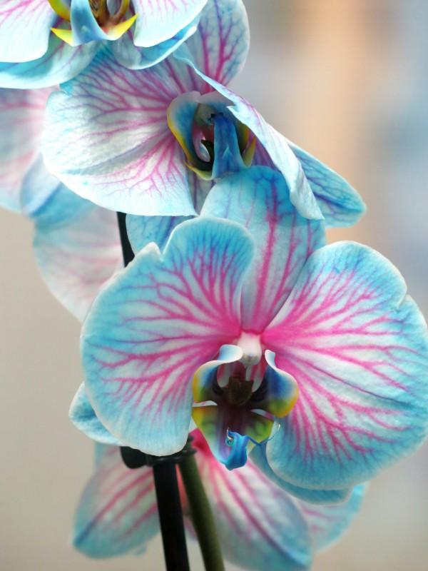 Blue Phalenopsis Orquidea - Foto 3