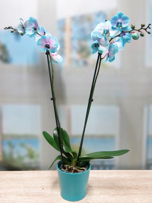 Blue Phalenopsis Orquidea - Foto 2