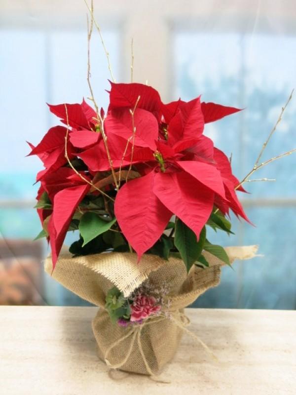 Flor de pascua envuelta en arpillera de color rojas