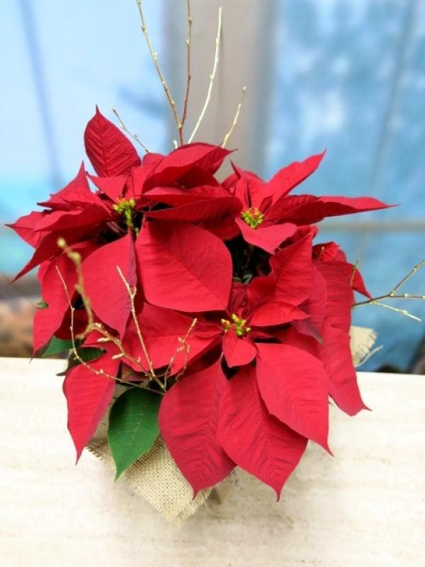 Flor de pascua envuelta en arpillera - Foto 2