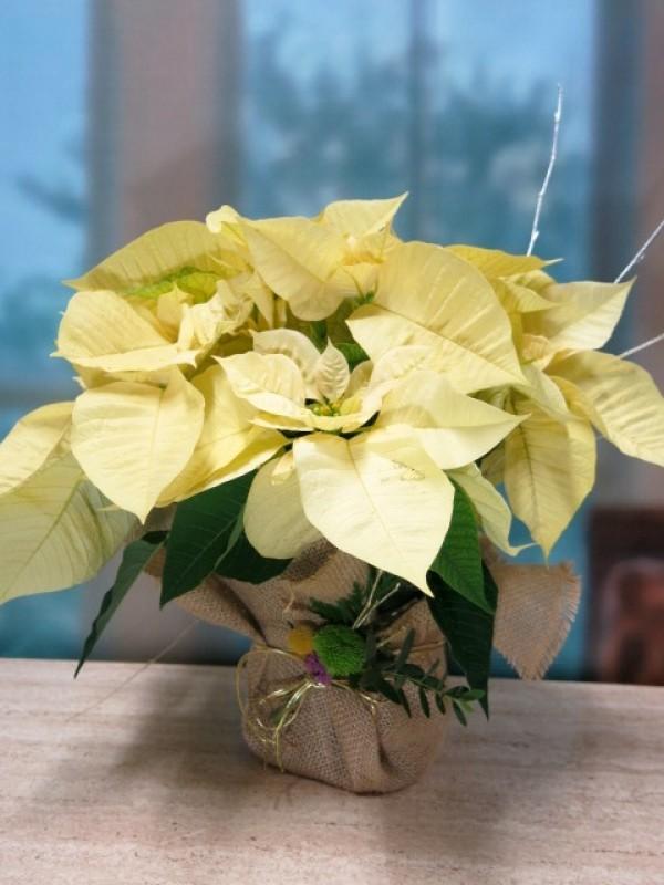 Flor de pascua envuelta en arpillera de color blancas - amarillas
