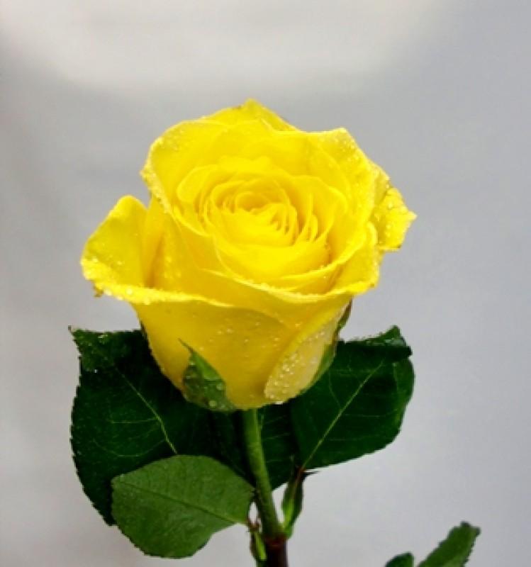 1 Rosa con Peluche de color amarillo