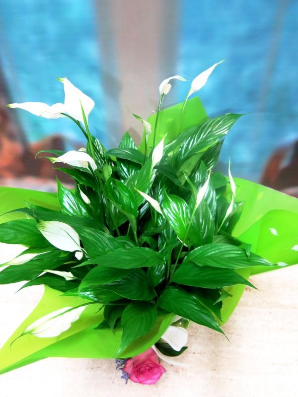 Spathiphyllum Plant - Foto principal
